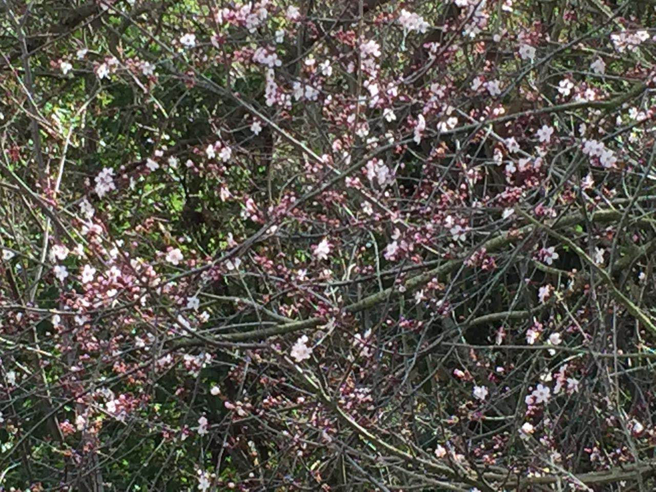 Garin Dry Creek Regional park_peach tree