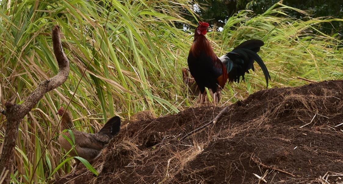 夏威夷可爱岛上的野鸡