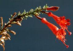 California-Fuchsia