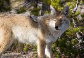 Coyote_skeeze