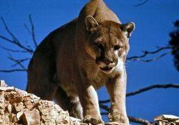 Lion Attack_Horsetooth Mountain Open Space